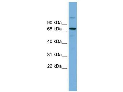 Rabbit Polyclonal Anti-BRAP Antibody
