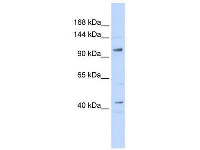 Rabbit Polyclonal Anti-TAF4 Antibody