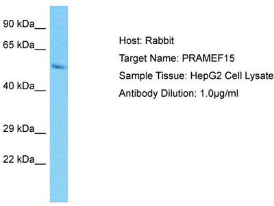 Rabbit Polyclonal Anti-PRAMEF15 Antibody