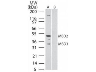 Mouse Monoclonal MBD3/MBD2 Antibody (106B691)