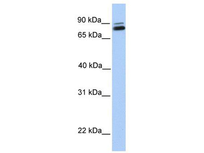 Rabbit polyclonal Anti-GGTL3 Antibody