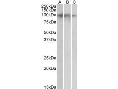 Goat Anti-NTRK2 Antibody