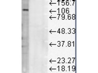 Mouse Monoclonal Anti-LAMP1 Antibody