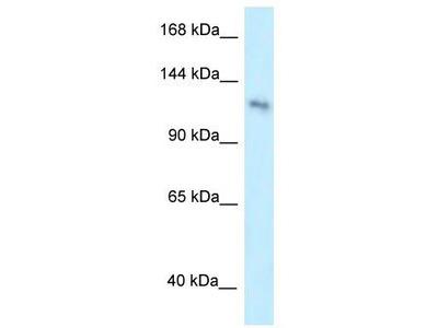 Rabbit Polyclonal Anti-PLEKHA7 Antibody