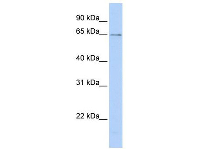 Rabbit Polyclonal Anti-PPIL2 Antibody