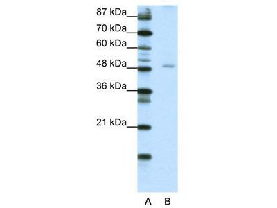 Rabbit Polyclonal Anti-NFIB Antibody