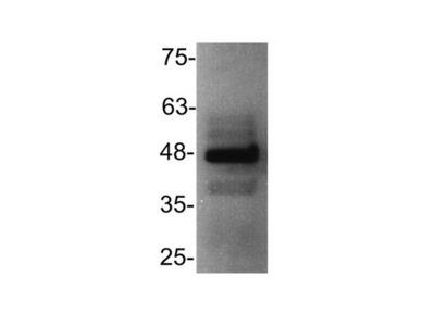 Rabbit Polyclonal CXCR3 Antibody
