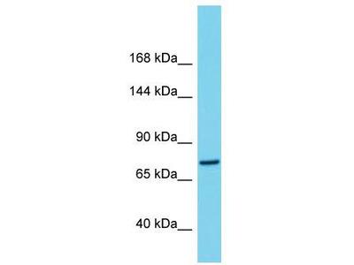 Rabbit Polyclonal Anti-C1orf112 Antibody
