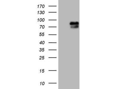 RAB11FIP4 mouse monoclonal antibody, clone OTI13B5 (formerly 13B5)