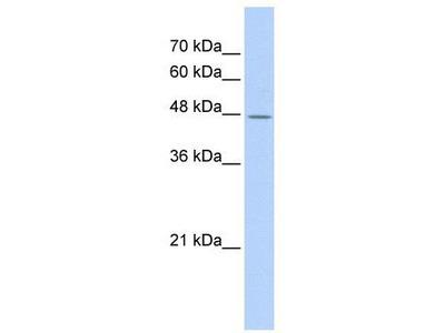 Rabbit Polyclonal Anti-TAF7L Antibody