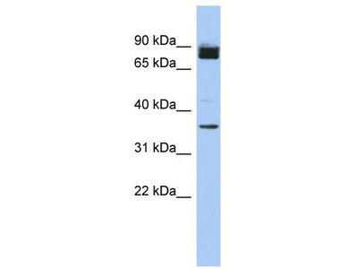 Rabbit polyclonal Anti-MGC48628 Antibody