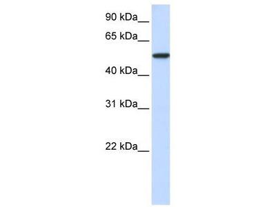 Rabbit Polyclonal Anti-KPNA3 Antibody
