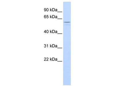 Rabbit Polyclonal Anti-TUB Antibody