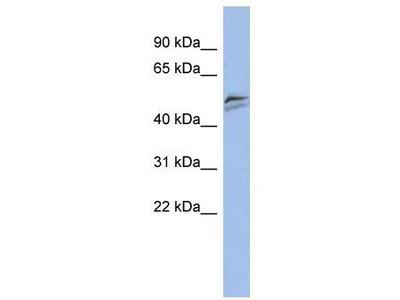 Rabbit Polyclonal Anti-SNAPC3 Antibody