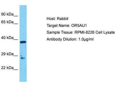 Rabbit Polyclonal Anti-OR5AU1 Antibody