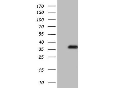 Rabbit polyclonal CHMP4C Antibody
