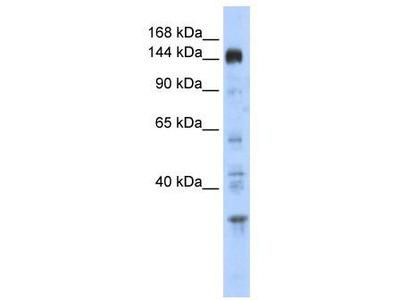 Rabbit Polyclonal Anti-PER2 Antibody