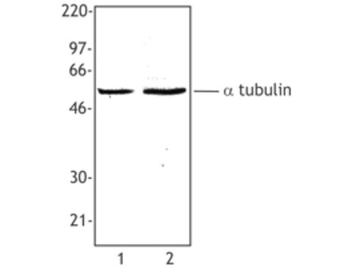 Mouse Monoclonal anti-Tubulin-alpha Antibody