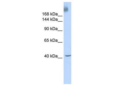 Rabbit Polyclonal Anti-TAF1 Antibody