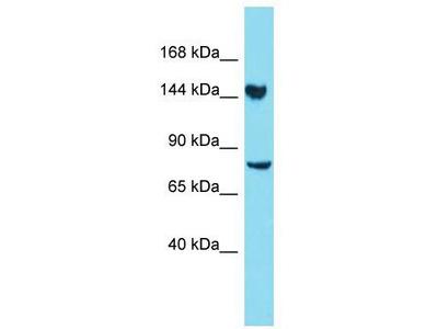 Rabbit Polyclonal Anti-CLUH Antibody