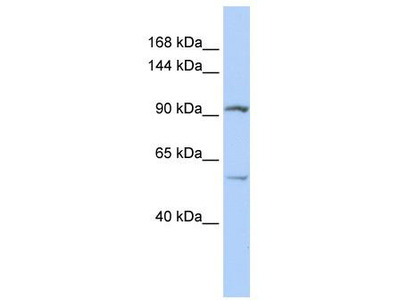 Rabbit Polyclonal Anti-LRRC66 Antibody