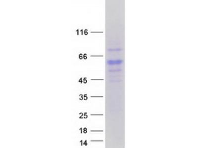 Purified recombinant protein of Homo sapiens reticulon 4 receptor-like 2 (RTN4RL2)