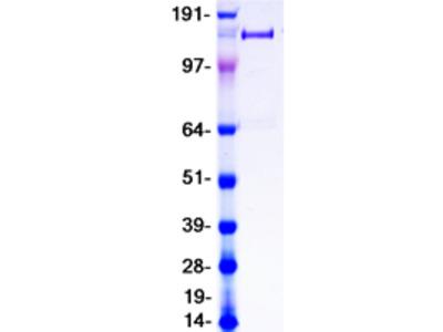 Purified recombinant protein of Homo sapiens phospholipase A2 receptor 1, 180kDa (PLA2R1), transcript variant 2