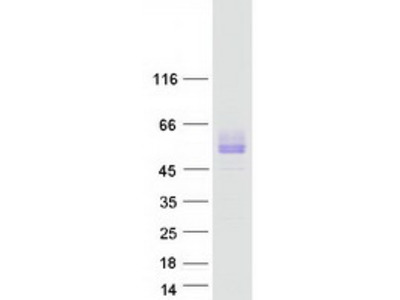 SIRPB1 MS Standard C13 and N15-labeled recombinant protein (NP_001129316)