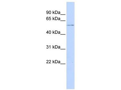 Rabbit Polyclonal Anti-GPS1 Antibody - N-terminal region