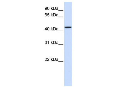Rabbit Polyclonal Anti-NIPA2 Antibody