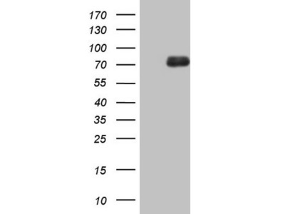 ALOX12 mouse monoclonal antibody, clone OTI1C3 (formerly 1C3)