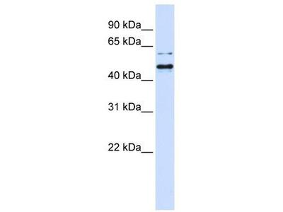 Rabbit Polyclonal Anti-TUB Antibody - N-terminal region