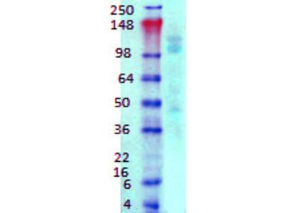 Mouse Monoclonal Anti-GABA-B Receptor 1 Antibody