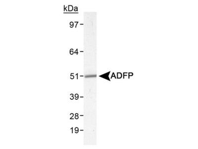 Rabbit Polyclonal Perilipin-2/ADFP Antibody