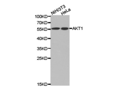 Rabbit anti-pan-AKT Polyclonal Antibody