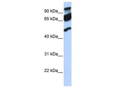 Rabbit Polyclonal Anti-ERAL1 Antibody