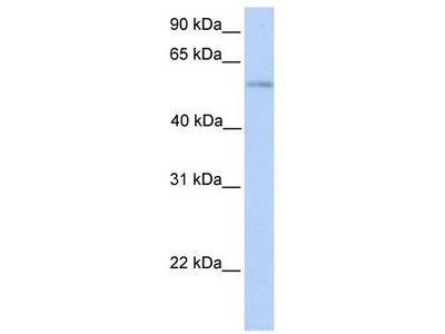 Rabbit Polyclonal Anti-PLD3 Antibody