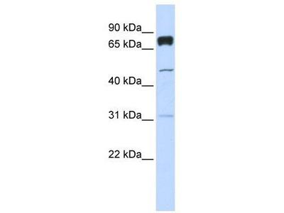 Rabbit Polyclonal anti-PLEKHA4 antibody