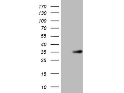 NR0B2 mouse monoclonal antibody, clone OTI7B5 (formerly 7B5)