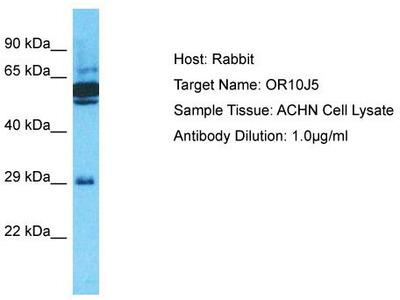 Rabbit Polyclonal Anti-OR10J5 Antibody