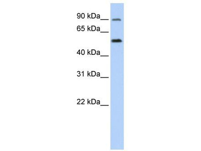 Rabbit Polyclonal Anti-SLC41A1 Antibody