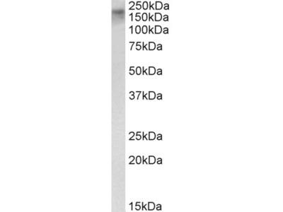Goat Anti-ERCC6 (aa717-731) Antibody