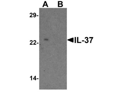 Rabbit Polyclonal IL-37 Antibody