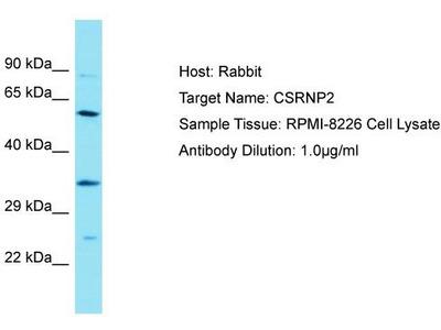 Rabbit Polyclonal Anti-CSRNP2 Antibody