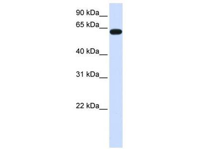 Rabbit polyclonal Anti-HS6ST3 Antibody