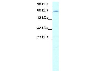 Rabbit Polyclonal Anti-IVNS1ABP Antibody