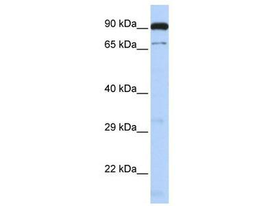 Rabbit Polyclonal Anti-CTCFL Antibody