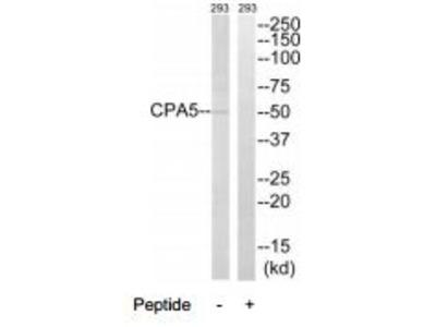Rabbit polyclonal CPA5 antibody