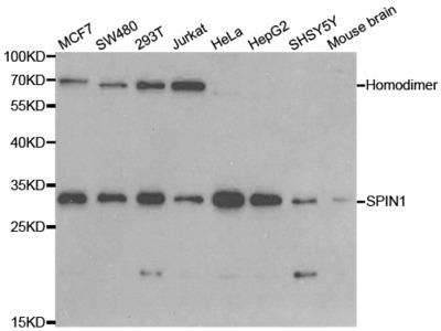 Rabbit anti-SPIN1 Polyclonal Antibody