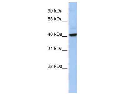 Rabbit Polyclonal Anti-THAP5 Antibody